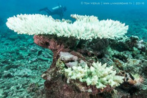 Bleached Acropora spp. close to Suva in January. Image courtesy of Tom Vierus.