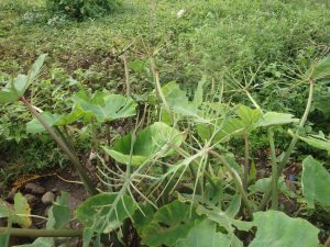 Taro plants eaten by caterpillars